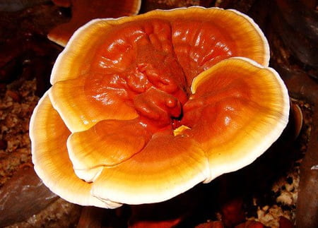 Ganoderma_lucidum_coffee